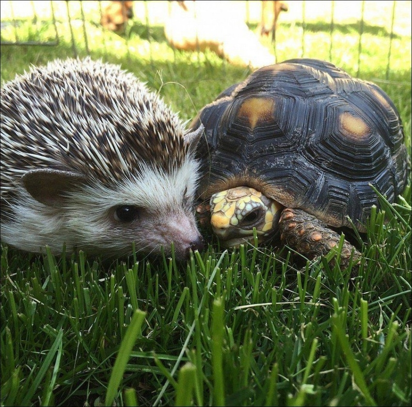 Ёжик и черепаха