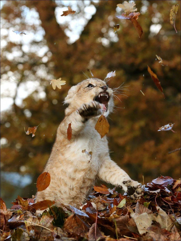 Львёнок и осень
