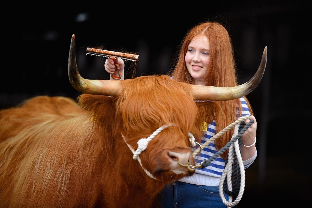 Шотландская девочка причёсывает шотландскую корову