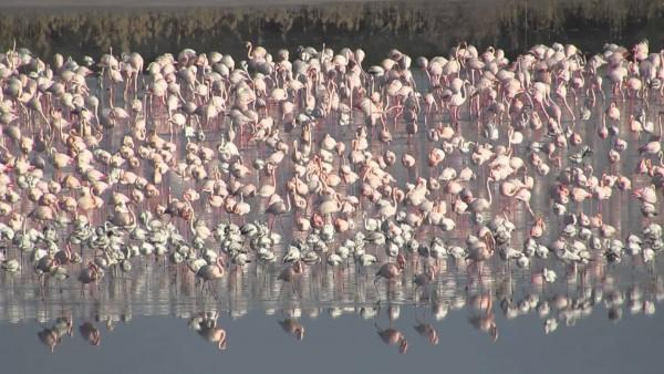 Толпа фламинго на солёном озере в Ларнаке