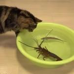 Кот против лобстера