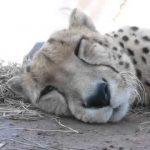 Вы когда-нибудь слышали, как мурлыкает гепард?