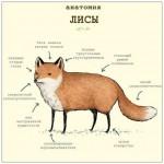 Анатомия лисы