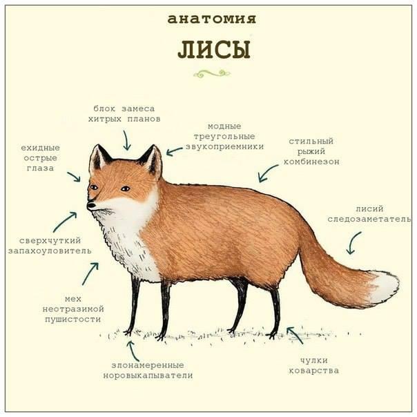 анатомия лис