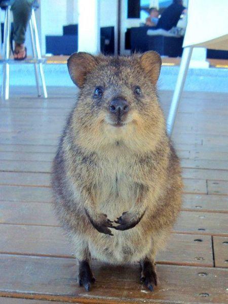 Квокка, он же короткохвостый кенгуру
