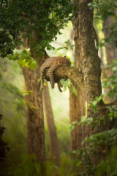 Сон леопарда