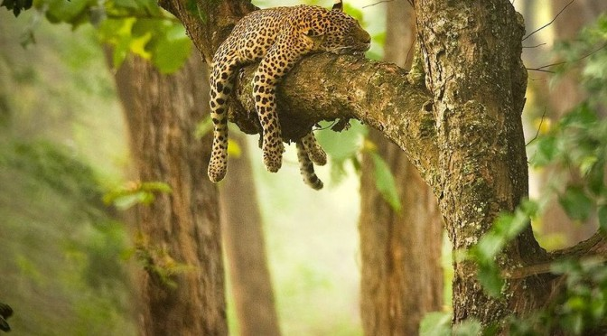 Son-leoparda