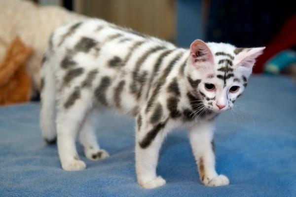 Тигровый котэ