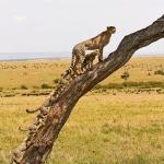 Гепардята с мамкой