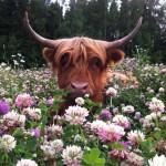 Шотландский бычок в цветочках